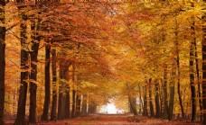 秋天枫树林图片